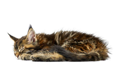 Tortoiseshell sleeping Maine coon kitten, isolated. Cute maine-coon cat on white background. Little funny purebred cat with tortoiseshell color. Studio shoot, cut out for design or advertising.