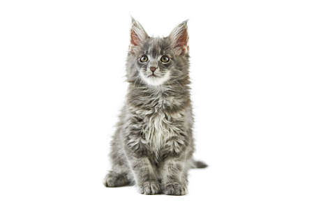 Maine coon kitten, isolated. Cute maine-coon cat on white background. Little funny purebred cat, gray color. Studio shoot, cut out for design or advertising.