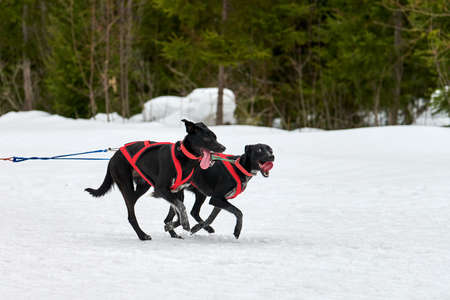 Running Pointer dog on sled dog racing. Winter dog sport sled team competition. English pointer dog in harness pull skier or sled with musher. Active running on snowy cross country track road Imagens