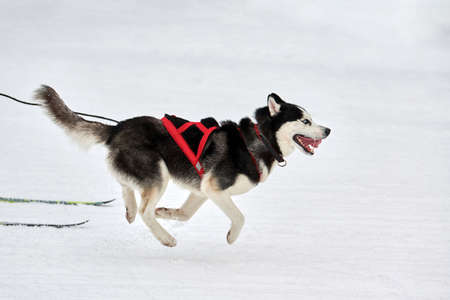 Skijoring dog racing. Winter dog sport competition. Siberian husky dog pulls skier. Active skiing on snowy cross country track road 写真素材