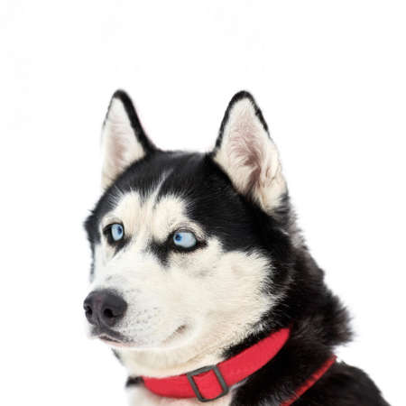 Funny husky face with big surprised eyes, isolated. Cute shocked look. Stunned mad Siberian Husky. Crazy design. 版權商用圖片 - 153429266