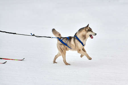 Skijoring dog racing. Winter dog sport competition. Siberian husky dog pulls skier. Active skiing on snowy cross country track road Foto de archivo