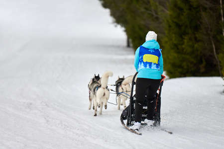 Husky sled dog racing. Winter dog sport sled team competition. Siberian husky dogs pull sled with musher. Active running on snowy cross country track road 写真素材
