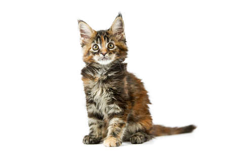 Tortoiseshell Maine coon kitten, isolated. Cute maine-coon cat on white background. Little funny purebred cat with tortoiseshell color. Studio shoot, cut out for design or advertising.