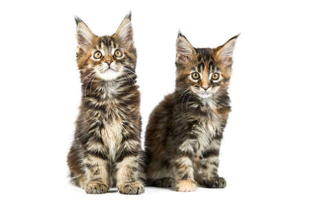 Two Maine coon kittens, isolated. Cute tortoiseshell maine-coon cats on white background. Little funny purebred cats. Studio shoot, cut out for design or advertising.
