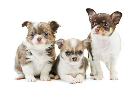 Three Chihuahua puppies, isolated. Little cute dogs on white background. Small short haired chihuahua dog breed, studio shoot. Foto de archivo