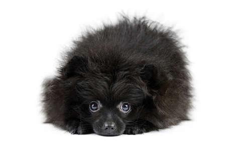 Black Pomeranian puppy Spitz, isolated. Cute pomeranian, white background. Family friendly tiny Spitz pom dog.
