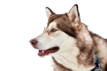 Husky sled dog face, isolated. Siberian husky dog breed white background, muzzle portrait. Isolated funny pet for design or advertisement