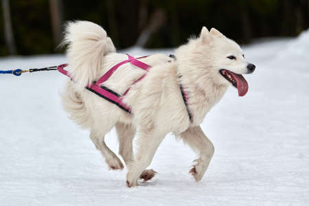 Running Samoyed dog on sled dog racing. Winter dog sport sled team competition. Samoyed dog in harness pull skier or sled with musher. Active running on snowy cross country track road