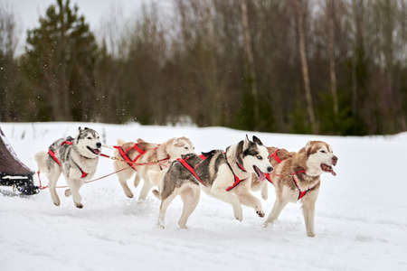 Running Husky dog on sled dog racing. Winter dog sport sled team competition. Siberian husky dog in harness pull skier or sled with musher. Active running on snowy cross country track road Archivio Fotografico