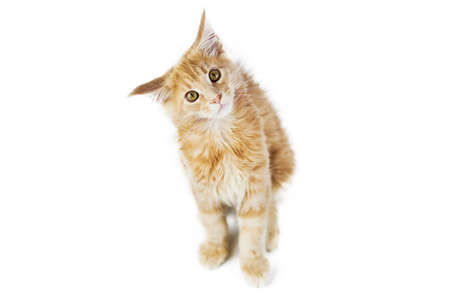 Maine coon kitten, isolated. Cute maine-coon cat on white background. Little funny purebred cat, beige cream color. Studio shoot, cut out for design or advertising.