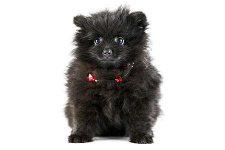 Pomeranian puppy Spitz, isolated. Cute black pomeranian with red beads, white background. Family friendly tiny Spitz pom dog.