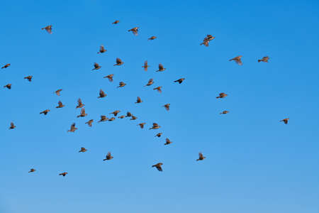 Sparrows flock flies in blue sky. Little urban birds. Sparrows bird wildlife. Birdwatching and ornithology