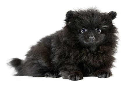 Pomeranian puppy Spitz, isolated. Cute black pomeranian, white background. Family friendly tiny Spitz pom dog.