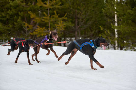 Running Doberman dog on sled dog racing. Winter dog sport sled team competition. Dobermann Pincher dog in harness pull skier or sled with musher. Active running on snowy cross country track road
