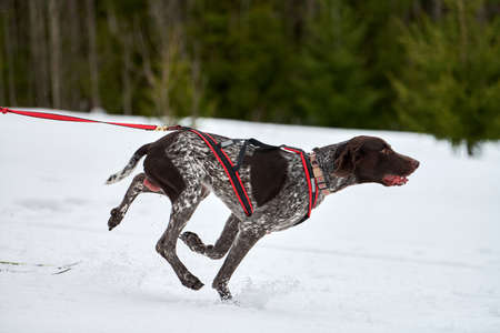 Running Pointer dog on sled dog racing. Winter dog sport sled team competition. English pointer dog in harness pull skier or sled with musher. Active running on snowy cross country track road Фото со стока