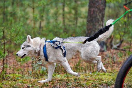 Bikejoring dog mushing race. Husky sled dogs pull a bike with dog musher. Autumn competition.