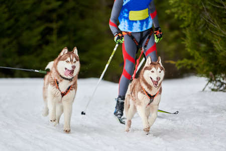 Skijoring dog racing. Winter dog sport competition. Siberian husky dog pulls skier. Active skiing on snowy cross country track road Фото со стока