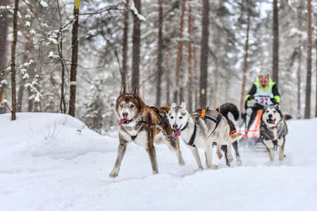 Siberian husky sled dog racing. Mushing winter competition. Husky sled dogs in harness pull a sled with dog driver.