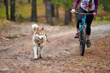 Crosscountry dryland sled dog mushing race. Husky sled dog pull a bicycle with dog musher. Autumn competition.