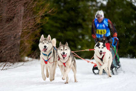 Husky sled dog racing. Winter dog sport sled team competition. Siberian husky dogs pull sled with musher. Active running on snowy cross country track road Stock Photo