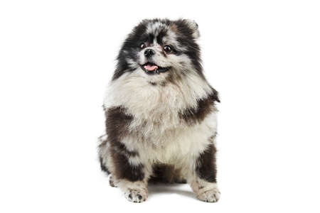 Merle Pomeranian puppy Spitz, isolated. Cute pomeranian merle color, white background. Family friendly tiny Spitz pom dog.
