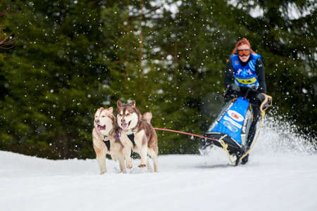 Husky sled dog racing. Musher falls off sled. Winter dog sport sled team competition. Siberian husky dogs pull sled with musher. Active running on snowy cross country track road Stock Photo