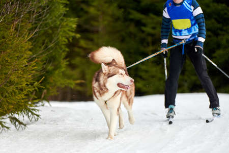 Skijoring dog racing. Winter dog sport competition. Siberian husky dog pulls skier. Active skiing on snowy cross country track road Standard-Bild