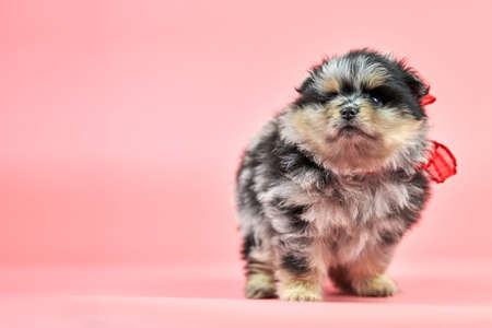 Pomeranian Spitz puppy, copy space. Cute fluffy tri-colored Spitz dog on pink background. Family-friendly tiny Dwarf-Spitz pom dog.