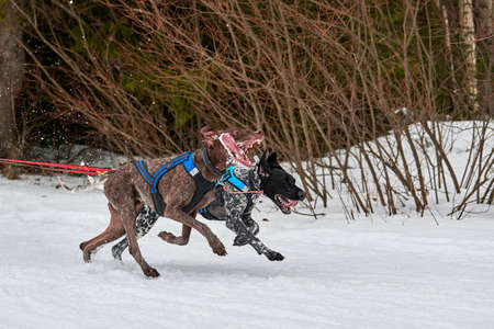 Running Pointer dog on sled dog racing. Winter dog sport sled team competition. English pointer dog in harness pull skier or sled with musher. Active running on snowy cross country track road
