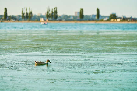 Duck swimming in algal bloom city lake, copy space. Mallard duck on water. Birdwatching and ornithology 版權商用圖片