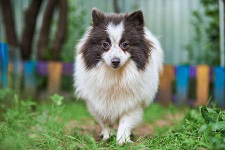 Pomeranian Spitz dog in garden. Cute pomeranian puppy on walk, white black color. Family friendly funny Spitz pom dog, green grass background.