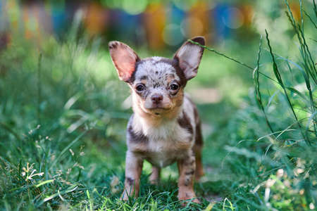 Chihuahua puppy, little dog in garden. Cute small doggy on grass. Short haired chihuahua breed. Stockfoto