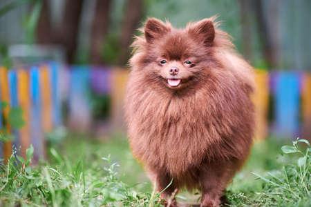 Pomeranian Spitz dog in garden. Cute brown pomeranian puppy on walk. Family friendly funny Spitz pom dog, green grass background.