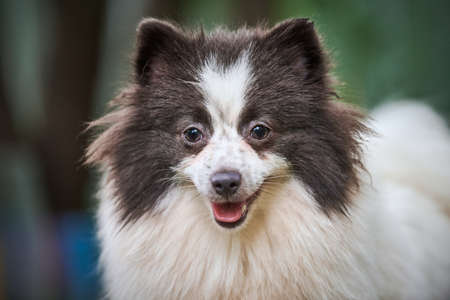 Pomeranian Spitz dog in garden, close up face portrait. Cute pomeranian puppy on walk. Family friendly funny Spitz pom dog, green grass background.