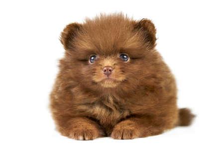 Pomeranian Spitz puppy isolated. Cute brown pomeranian dog on white background. Purebred Spitz breed, family friendly funny pom dog.