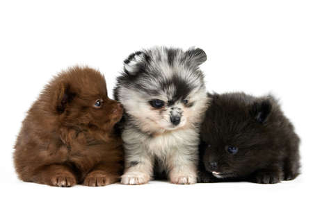 Three Pomeranian Spitz puppies isolated. Cute pomeranian dogs on white background, brown, black and gray color. Purebred Spitz breed, family friendly funny pom dogs.