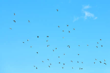 Seagulls flying high in blue sky with white fluffy clouds. Silhouettes of hovering white birds on natural sky background as symbol of freedom, lightness and speed. Sky texture, copy space. 스톡 콘텐츠