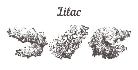 Hand drawn set Lilac flowers illustration. Vector Sketch Lilac isolated on white background.