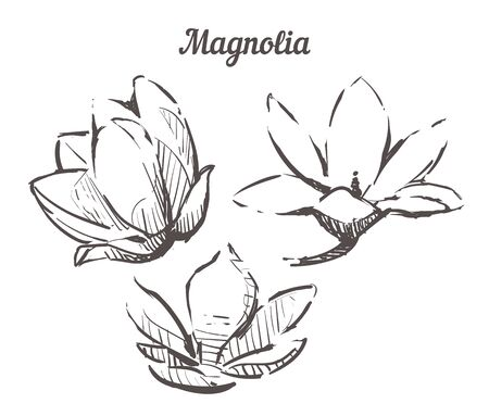 Hand drawn set Magnolia flowers illustration. Vector Sketch Magnolia isolated on white background.