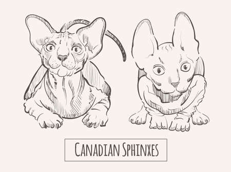 Canadian Sphinxes cats, sketch hand drawn