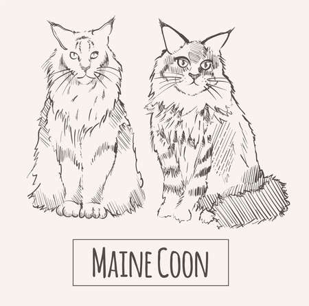 Maine Coon cats, hand drawn sketch