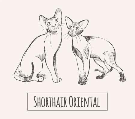Oriental Shorthair cats, hand drawn sketch