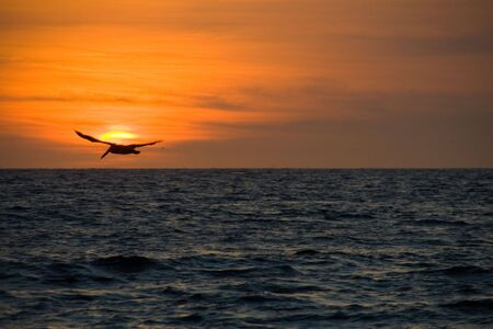 pelikan: a pelikan flying into the red sunset