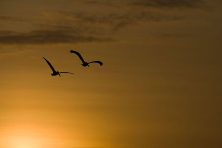 a pair of pelikans flying into the sunset