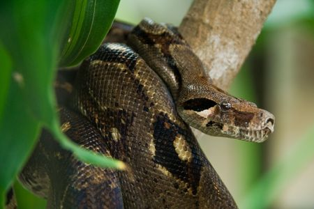 a brown anaconda in the jungle looking for food Stock Photo