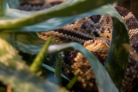 the poisonous brown viper hiding in the jungle Stock Photo - 3712872