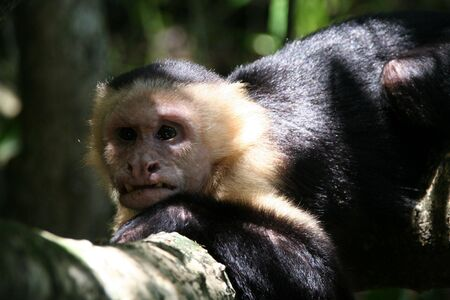 old and ugly capucin monkey, but the chief of the tribe