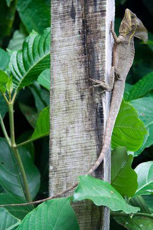 big lizard bathing in the sun of costa rica