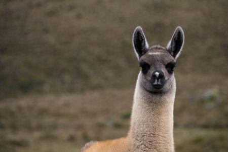 close-up of an alpaca  in ecuador photo